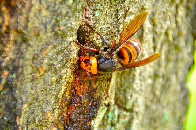 スズメバチの食事のようす