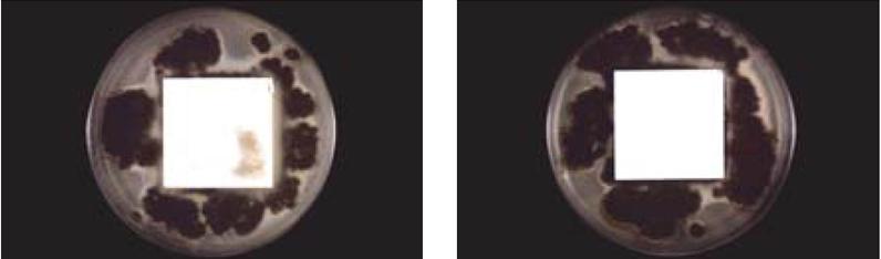防かび性能試験結果より(試験方法:JIS Z 2911 準拠)左写真が一般塗料、右写真がパーフェクトトップ